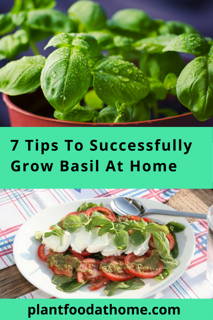 Have you ever wanted to grow your own basil at home but don't know where to start? Basil is a wonderful addition to your herb garden and widely used in culinary dishes around the world! We share 7 tips to help you successfully grow your own basil at home #grow #basil #herbgarden #kitchengarden