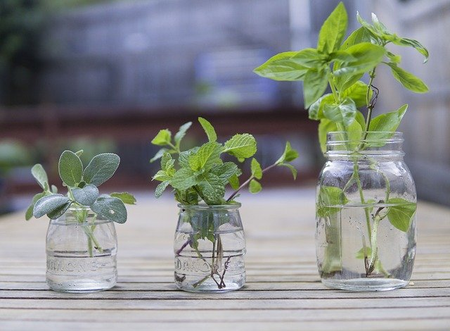 Mint and other herb cuttings growing in glass jar of water