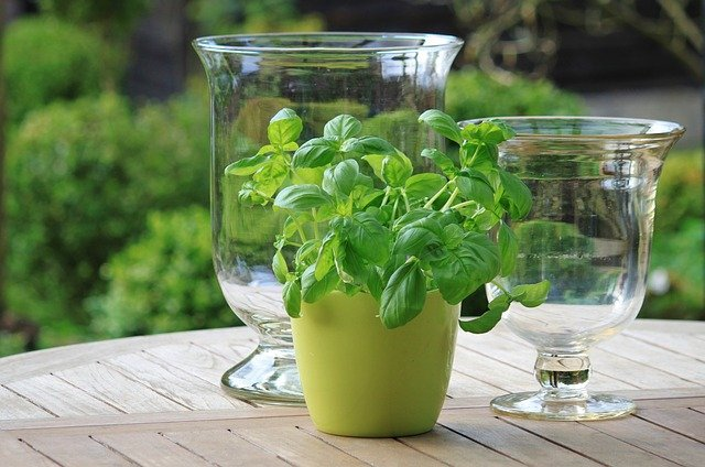 Basil in a pot - Grow Basil At Home