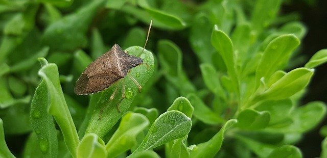 Brown Stink Bug - Natural Remedies To Remove Stink Bugs From Citrus Trees