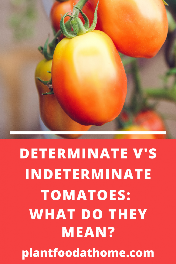 Determinate vs indeterminate tomatoes what do they mean