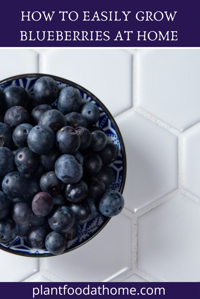 Easily Grow Blueberries At Home