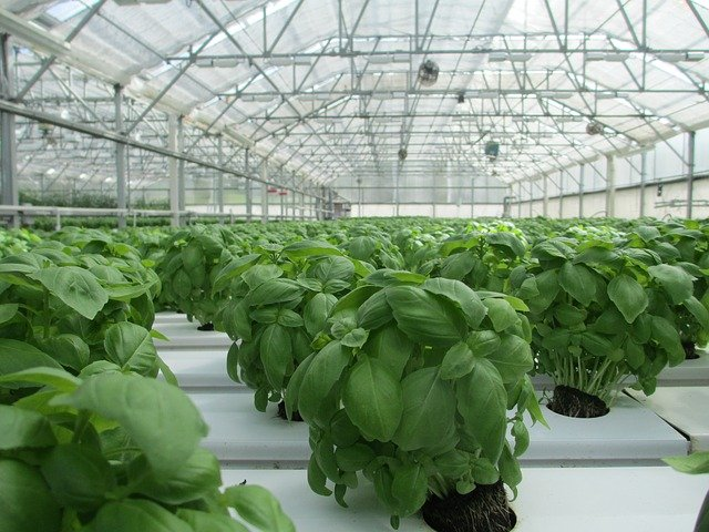 Greenhouse Basil - How To Grow Grocery Store Basil At Home