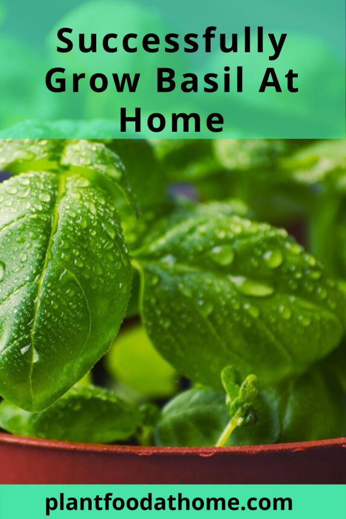 Successfully Grow Basil At Home