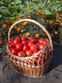 Determinate vs Indeterminate Tomatoes with a basket full of tomatoes.