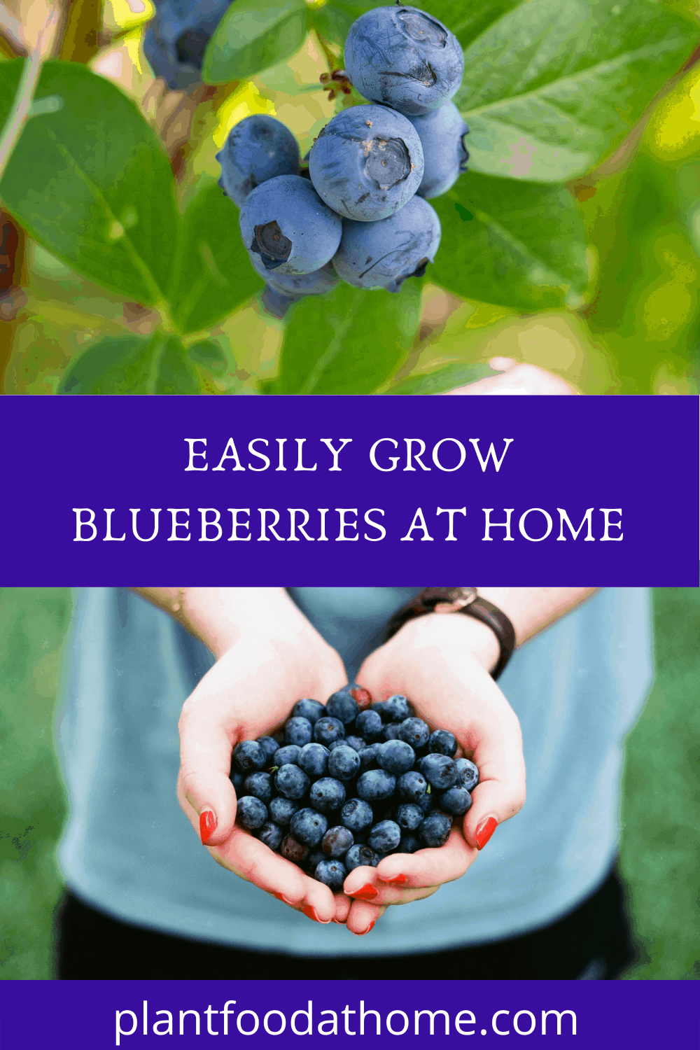 How To Easily Grow Blueberries