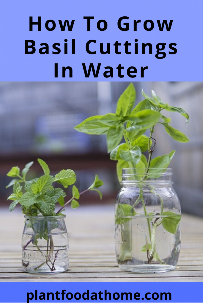 How To Grow Basil Cuttings In Water