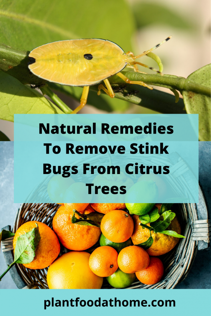 Natural Solutions To Remove Stink Bugs from Citrus Trees