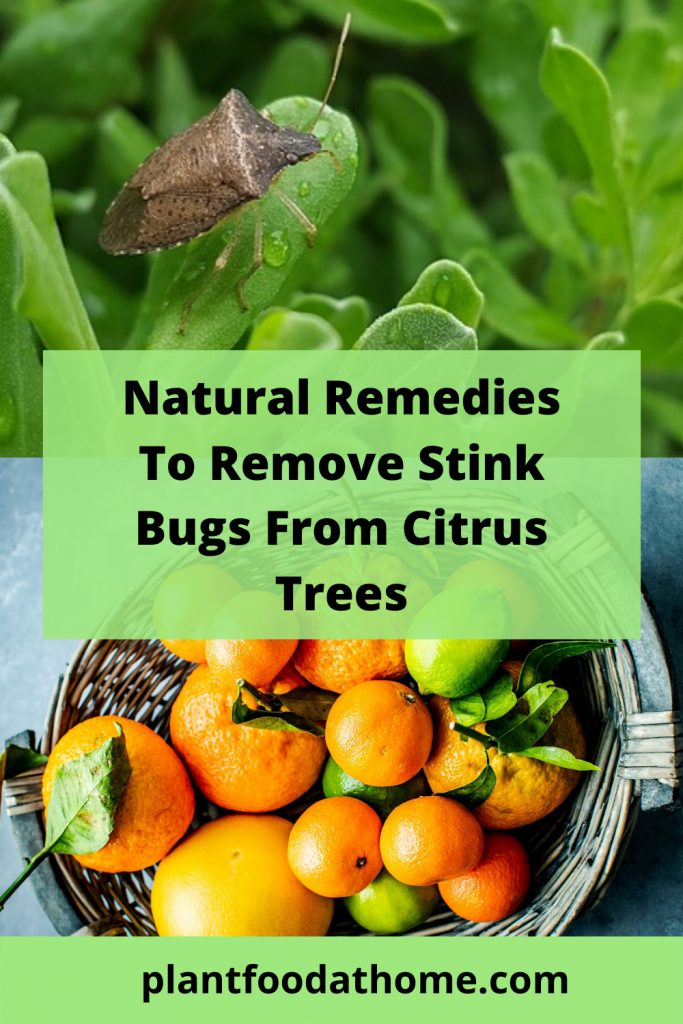 Natural Remedies To Remove Stink Bugs from Citrus Trees