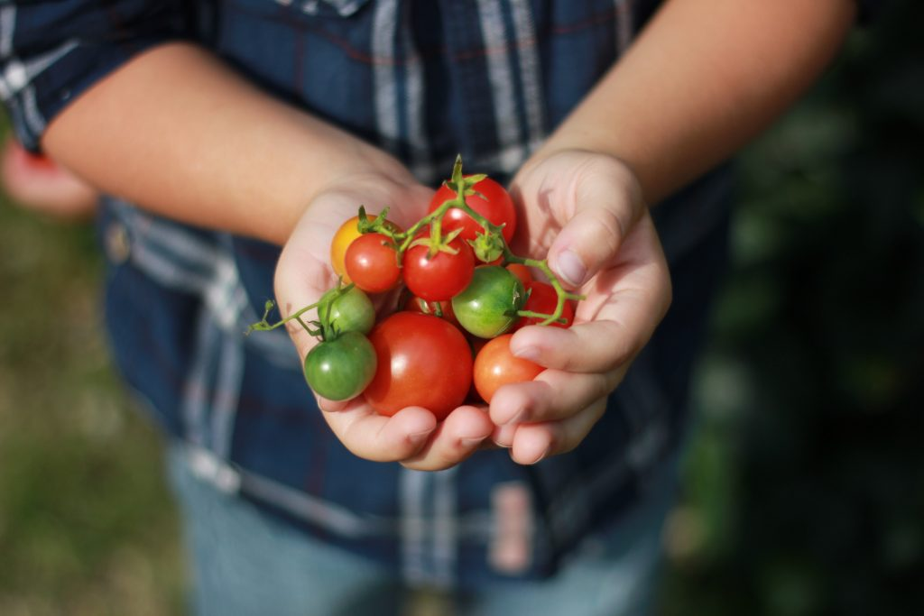 Person Holding Tomatoes Determinate and Indeterminate Tomatoes
