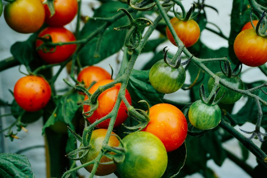 Tomato Plant With Ripening Fruit