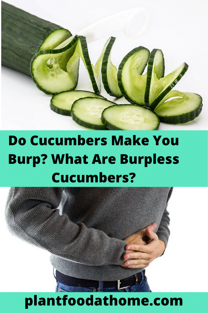 Do Cucumbers make you Burp? What are Burpless Cucumbers?