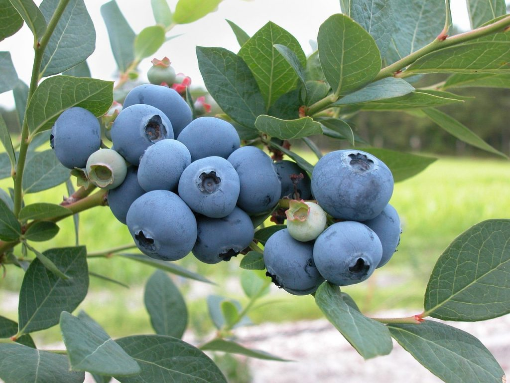 Blueberry branch with fruit - How To Grow Blueberry Bushes