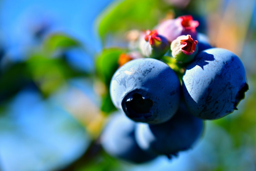 Close-up of blueberries - How To Grow Blueberries Easily At Home
