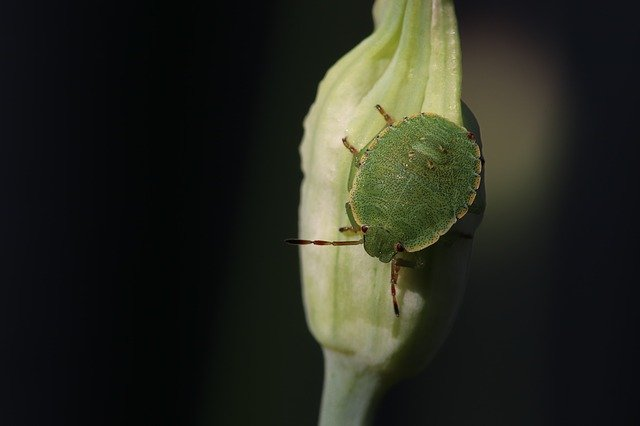 Green Stink Bug - Natural Remedies To Remove Stink Bugs From Citrus Trees