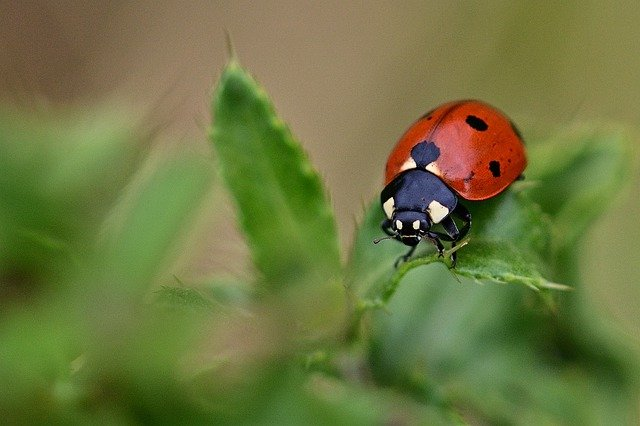 Ladybird in the garden to help prevent powdery mildew