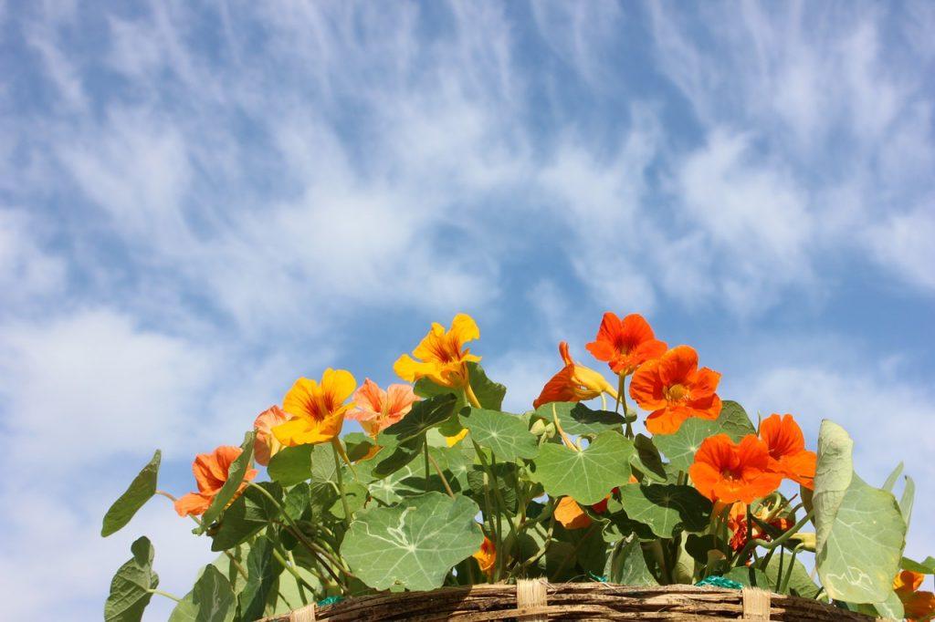 nasturtium flowers and leaves