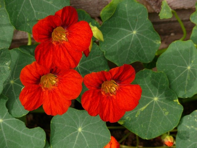 Nasturtium flowers - companion planting in a square foot garden