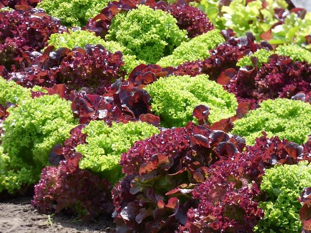 Growing loose-leaf lettuce