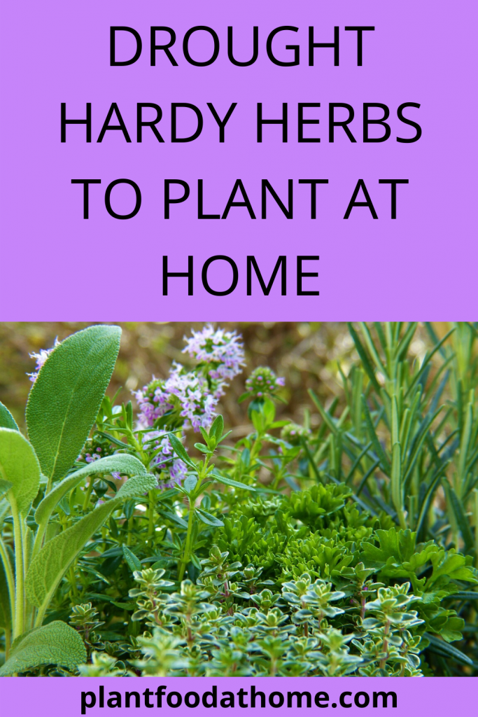 Drought Hardy Herbs To Plant At Home