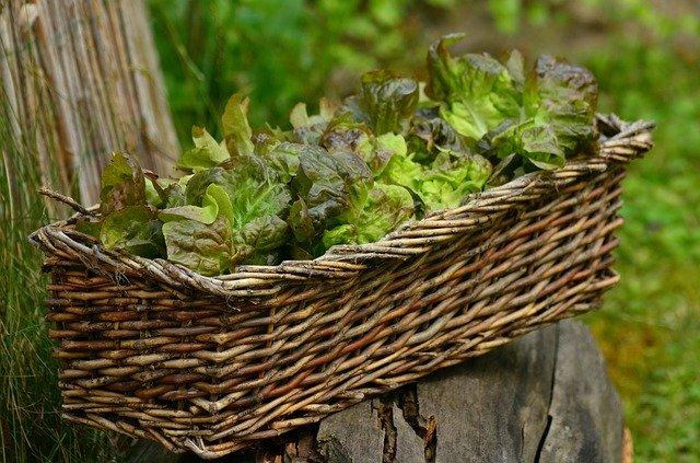 Lettuce Grown in Pot