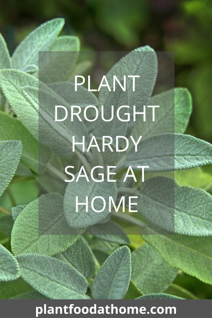 Plant Drought Hardy Sage At Home