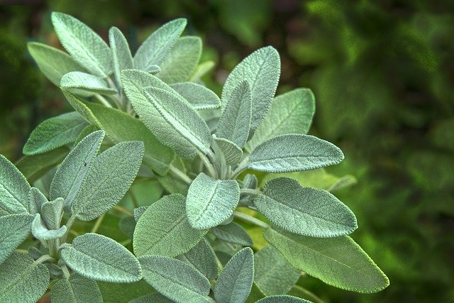 How To Grow Drought Tolerant Sage Herb Plant