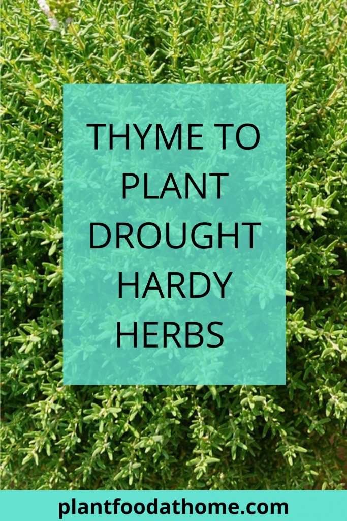 Thyme To Plant Drought Hardy Herbs