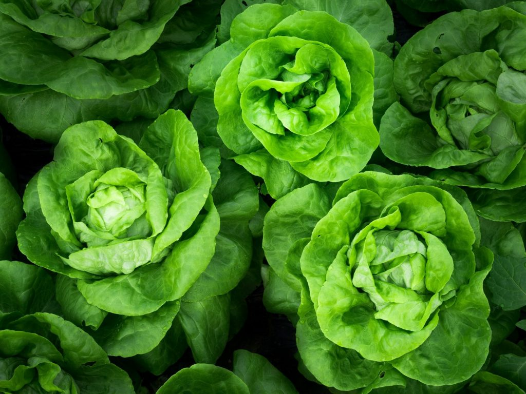 Butterhead Lettuce - How To Grow Lettuce