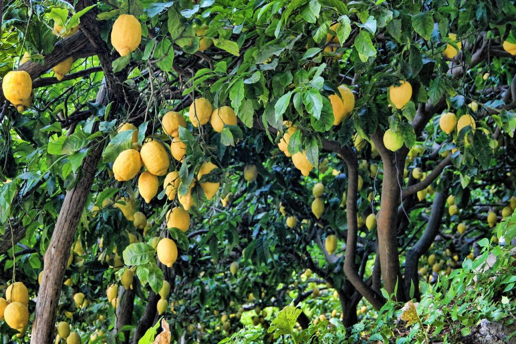 Backyard Lemon Trees