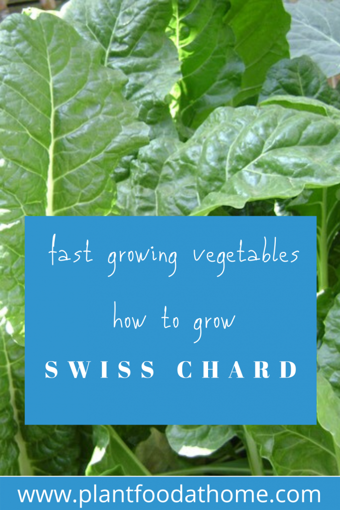 Fast Growing Vegetables How To Grow Swiss Chard