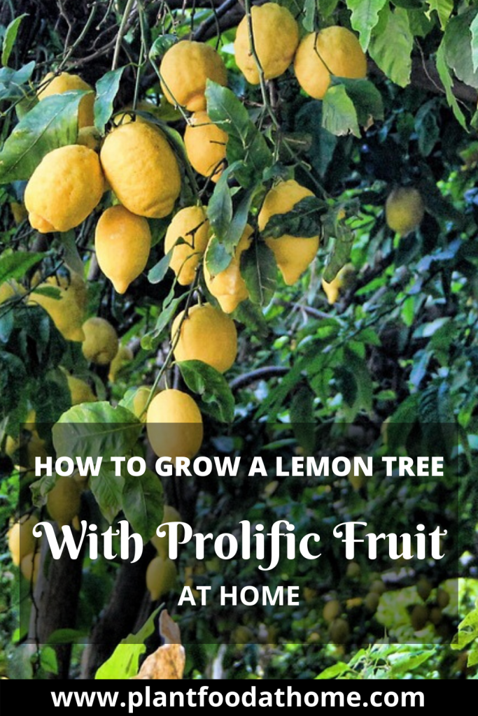 Grow A Lemon Tree With Prolific Fruit