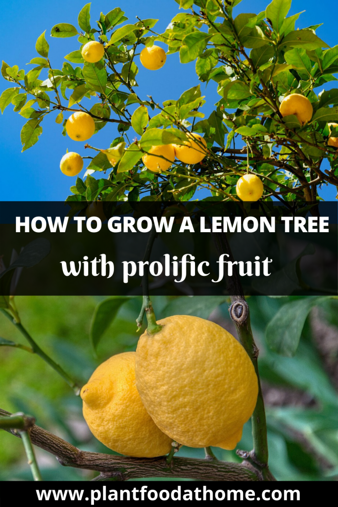 How To Grow Lemon Tree At Home