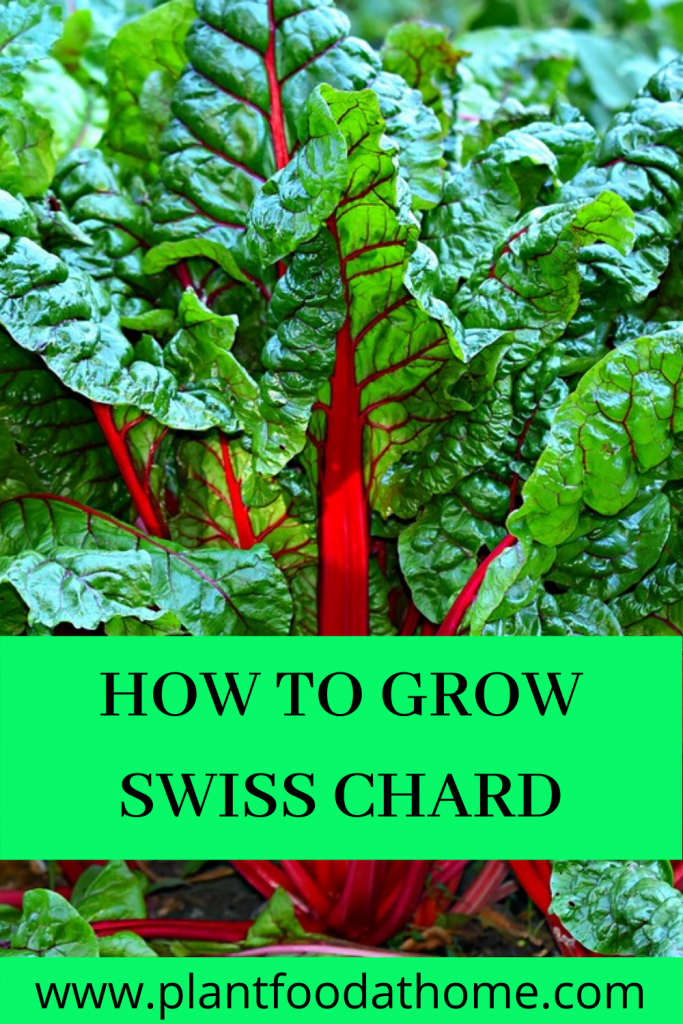 How To Grow Swiss Chard At Home
