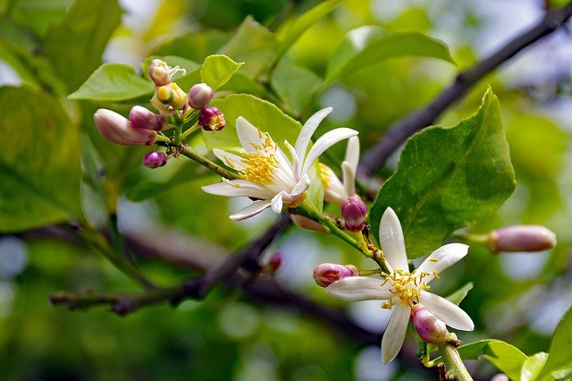 Lemon Tree Flowers and Buds