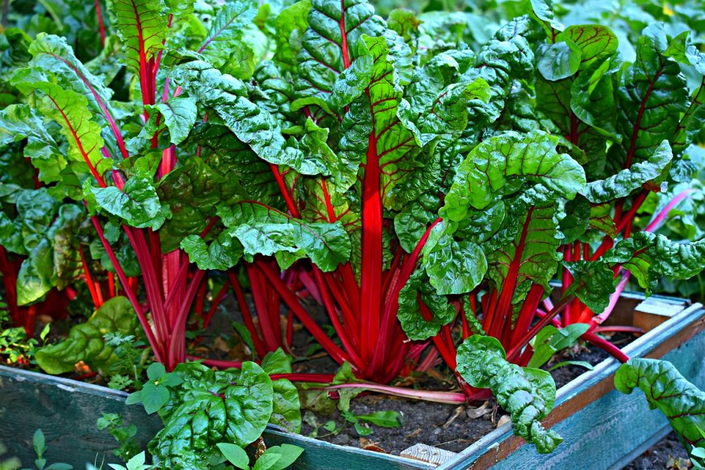 Swish Chard Colorful Red Stalks