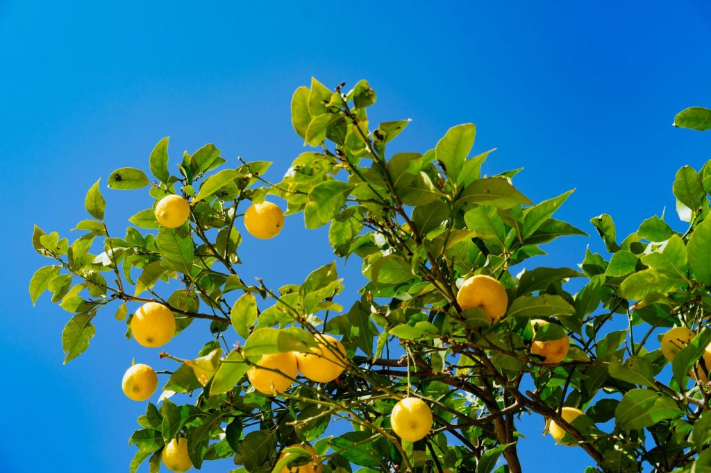 Lemon tree with lots of fruit