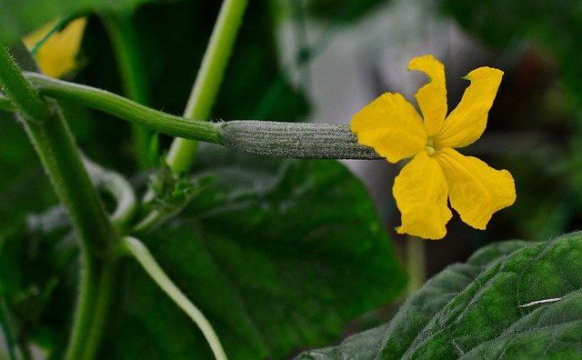 Cucumber female flower with fruit