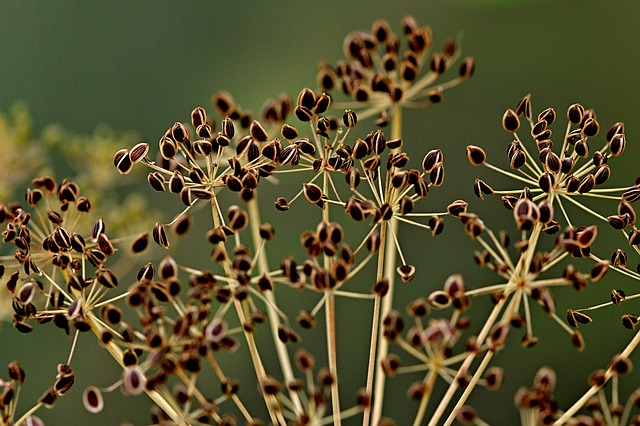 Dill dried flower seed