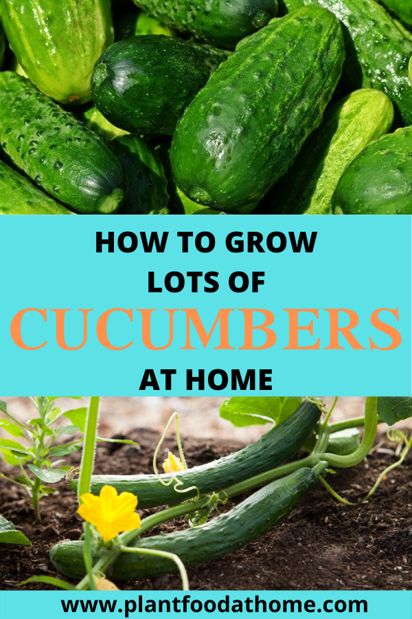 Grow Lots Of Cucumbers