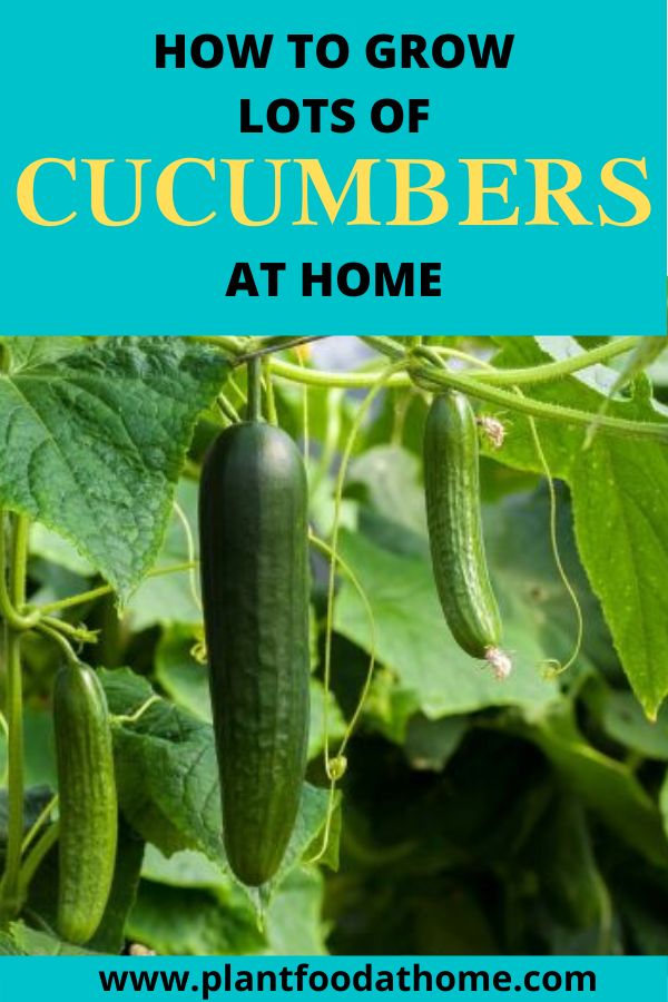 Grow Lots of Cucumbers At Home