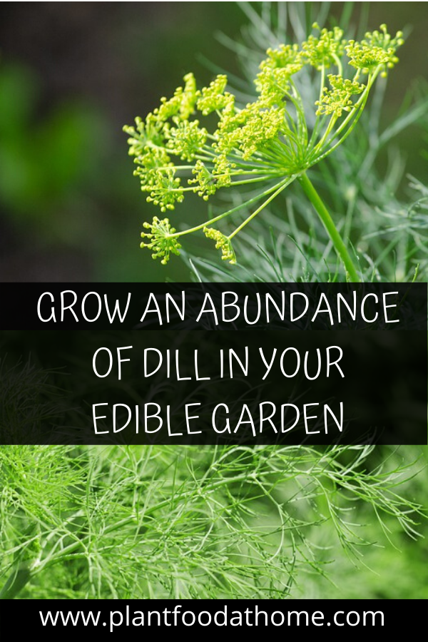 Grow an abundance of dill in your edible garden