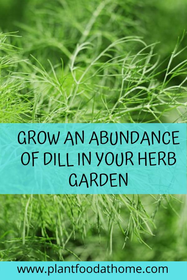 Grow an abundance of dill in your herb garden