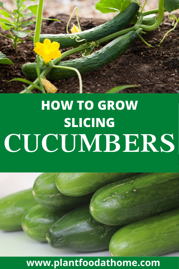 How To Grow Slicing Cucumbers