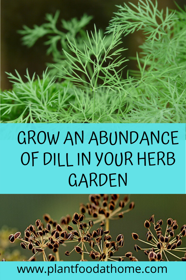 How to grow an abundance of dill in your herb garden