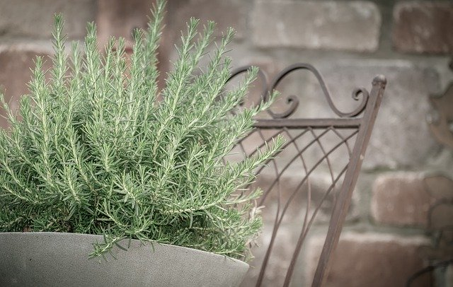Established Rosemary Plant In A Pot