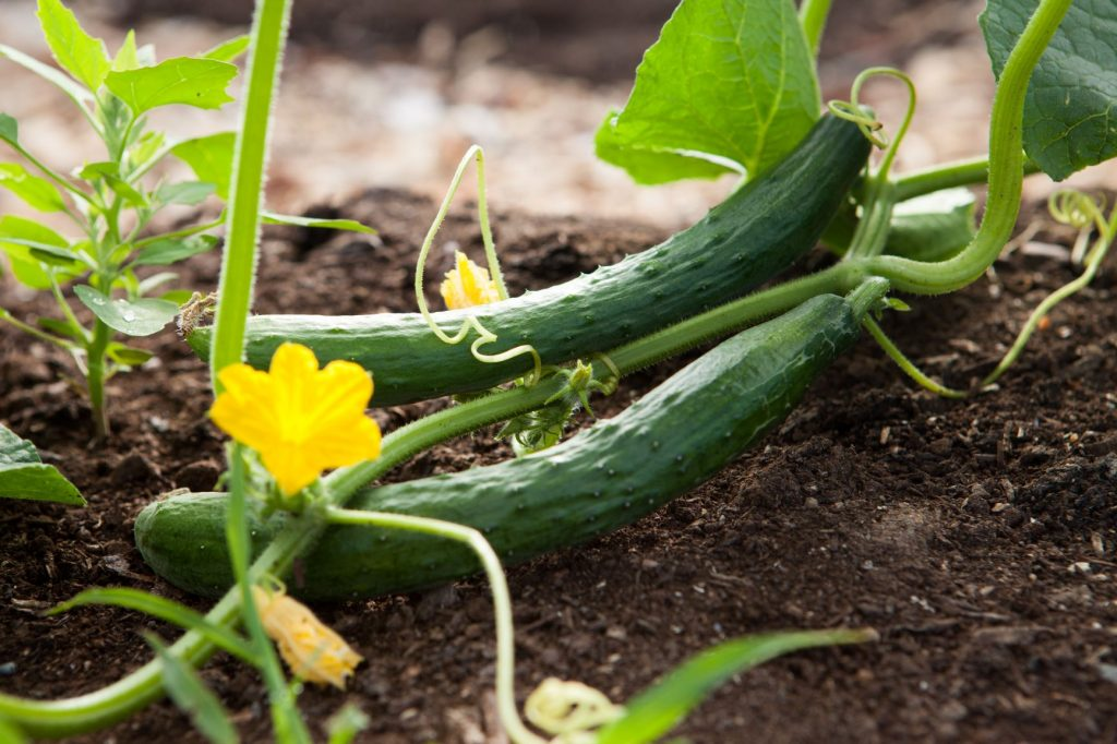 Burpless Cucumbers growing on the ground in the garden