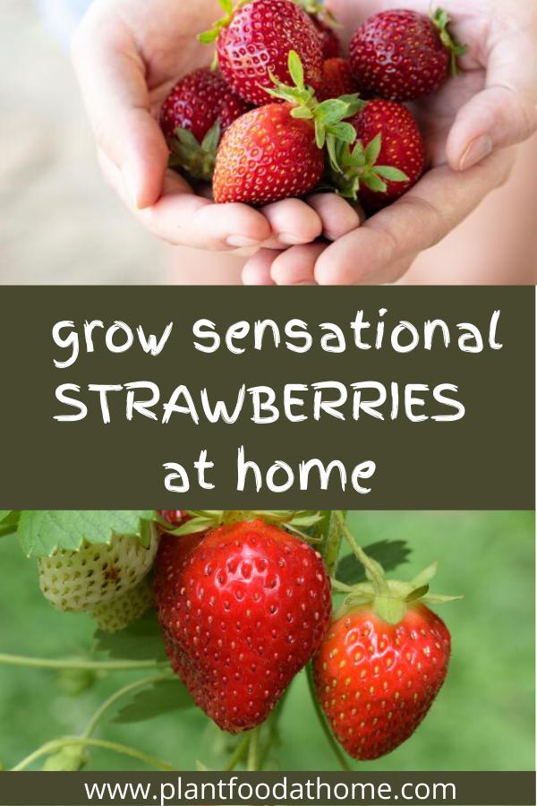 Grow Sensational Strawberries At Home