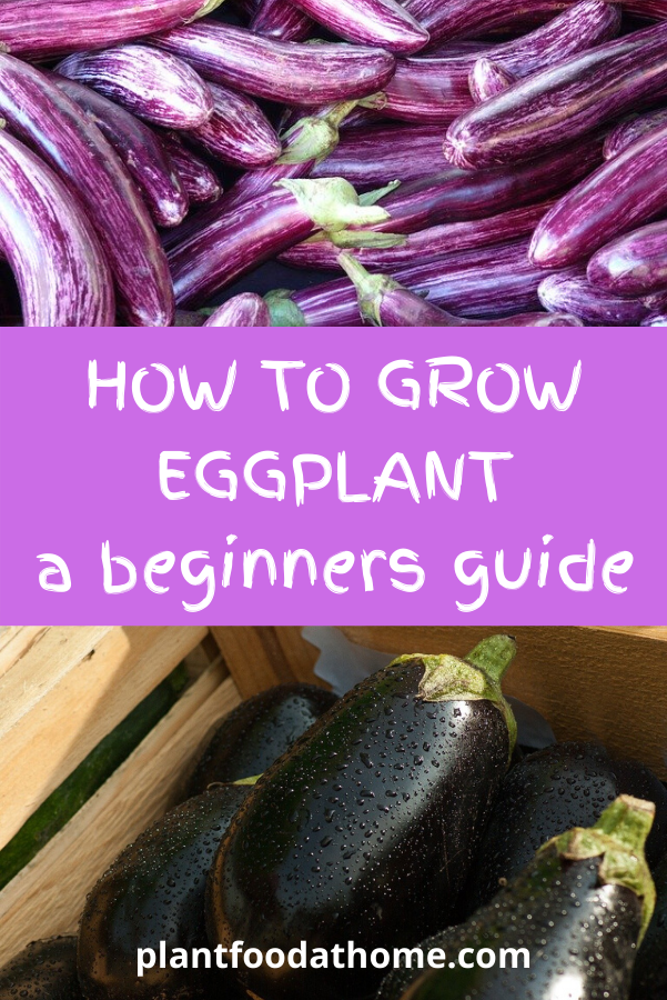 How To Grow Eggplant - A Beginners Guide