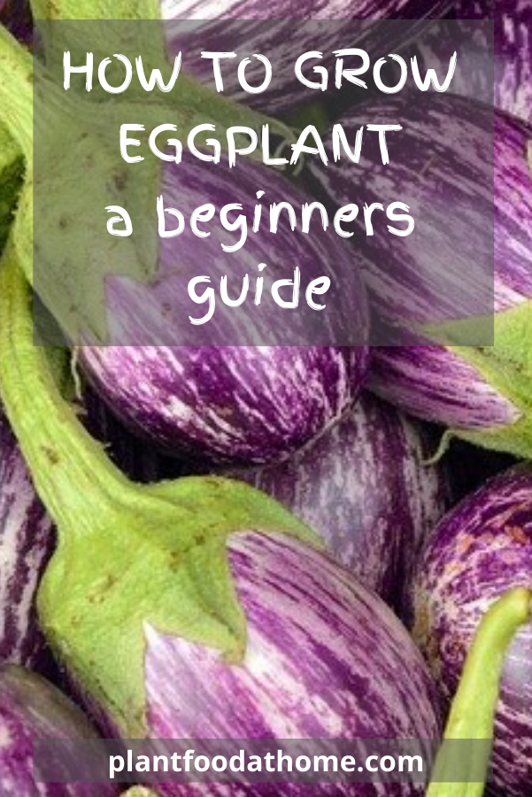 How To Grow Eggplant Beginners Guide